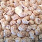 30 Small Spotted Babylonia Seashells Crafts Sea Shells Vase Filler Beach Decor
