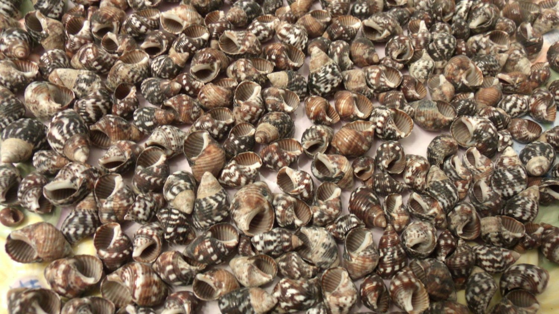 40 Planaxis Spiral Brown Black Seashells Scrapbook Crafts Mix Shell Lot Wedding