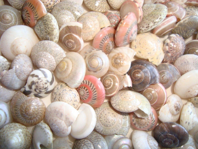 50 UMBONIUM SEASHELLS Mix Crafts Shell Scrapbook Umbodium Sailors Valentine