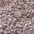 100 Mini Venetian Pearl White Pong Trochus Cone Seashell Shells Crafts Trocus