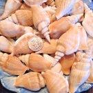 Large Lt. Tan Beige Seashells Crafts Shells Lot Wedding Beach Spiral Conch Large