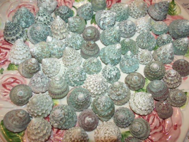 10 Green Trocus Troca Seashells Crafts Shell Beach Wedding Vase Filler Jewelry