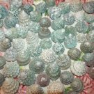 10 Green Trocus Troca Seashells Crafts Shell Beach Wedding Vase Filler Jewelry