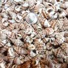 100 Phyrus SEASHELLS Shells Craft Scrapbook Sailors Valentine Beach Spiral Conch