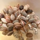 75 UMBONIUM SEASHELL TOOTHPICKS Shell Picks Scrapbook Wedding Beach Umbodiums