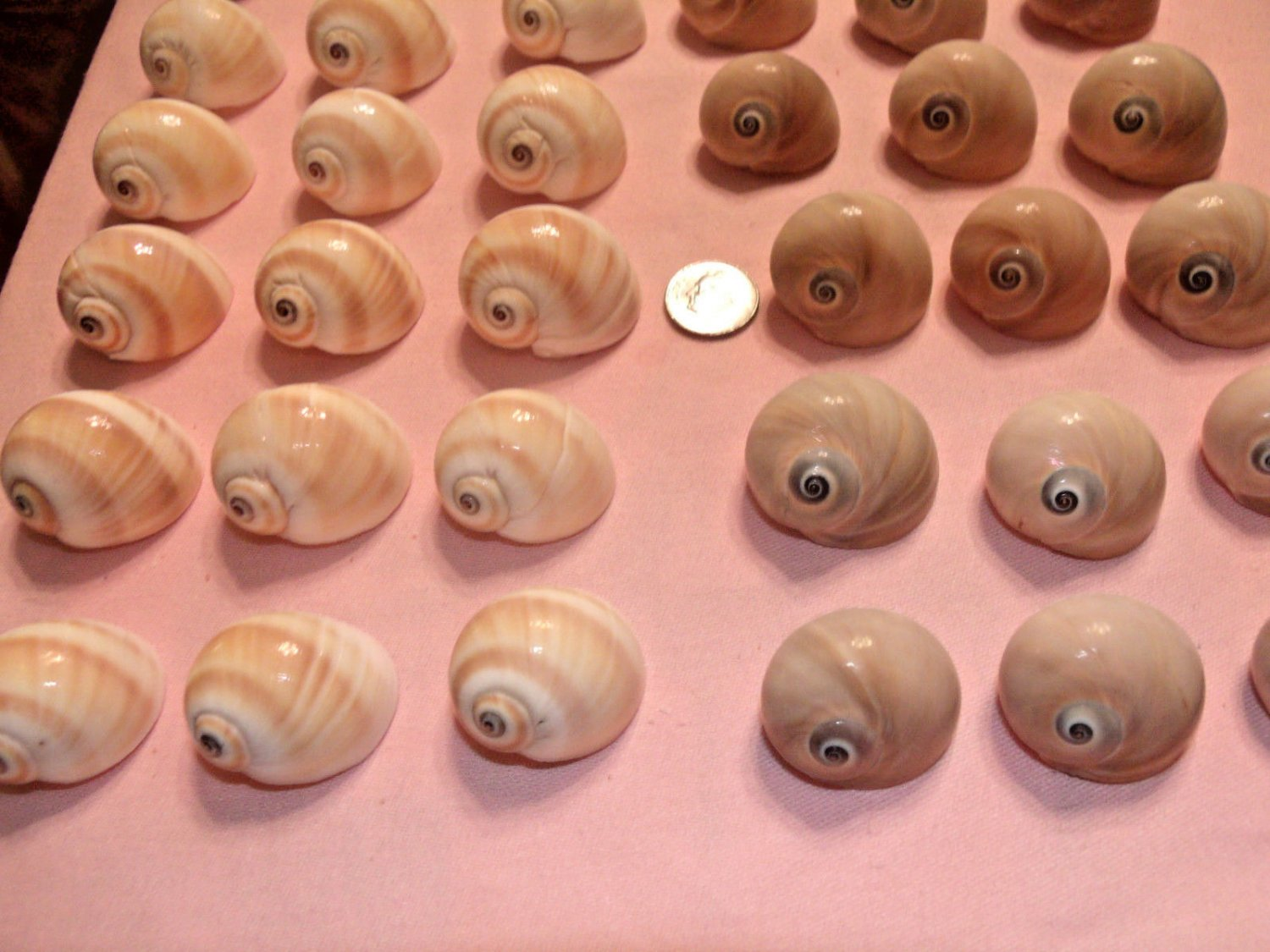10 Small Shark Whale Eyes Seashells Crafts Shell Beach Aquarium Hermit Crab Lot
