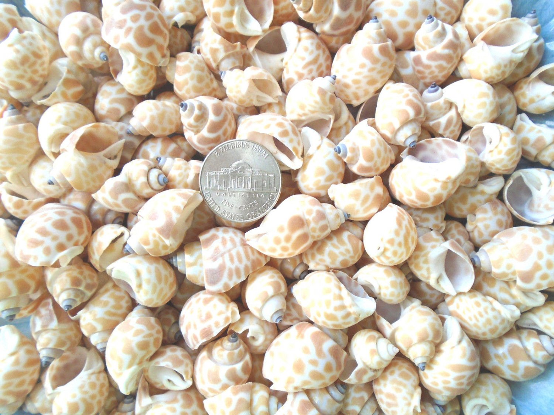 Small SEASHELLS Babylonia Shells Crafts Vase Filler Spiral Conch Beach Decor