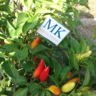 CHILLI PURIRA, Capsicum frutescens, 20 SEEDS, homegrown (8)