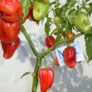 HABANERO GAMBIA, Capsicum chinense, 10 SEEDS, homegrown (22)