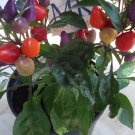 CHILLI AURORA, MULTICOLOR Capsicum annuum, 20 SEEDS, homegrown (39)
