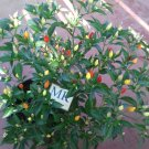 NUMEX TWILIGHT 20 SEEDS, Capsicum annuum homegrown (65)
