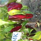CHILLI ANAHEIM, C. Annuum, 20  SEEDS, homegrown (28)