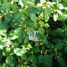 Aji Charapita, 10 SEEDS,Capsicum frutescens, homegrown (129)