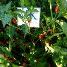 Aji Charapita Red, 10 seeds,  Capsicum chinense (399)