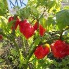 Habanero Surinam Red,10 seeds,Capsicum chinense (141)