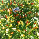 Tabasco  ,Capsicum frutescens,20 seeds,organic