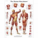 "The Human Musculature Chart 18""x28"" (45cm/70cm) Canvas Print"