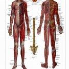 "Nervous System Chart  18""x28"" (45cm/70cm) Poster"