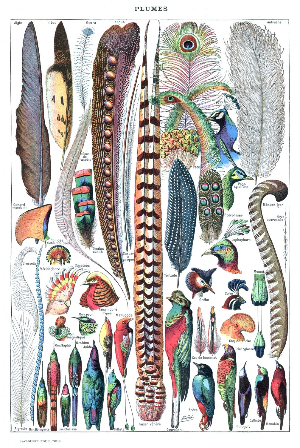 """Plumes Feathers Chart  18""""x28"""" (45cm/70cm) Poster"""