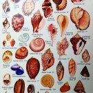 "Beachcomber's Field Guide Shells Chart  18""x28"" (45cm/70cm) Canvas Print"