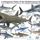 "Cartilaginous Fishes of the Mediterranean Sea Chart  18""x28"" (45cm/70cm) Canvas Print"