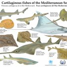 "Cartilaginous Fishes of the Mediterranean Sea Chart  18""x28"" (45cm/70cm) Canvas Print"