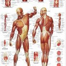 "Human Muscle Anatomy Chart  18""x28"" (45cm/70cm) Poster"