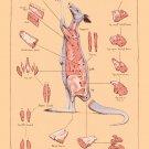 "Cuts of Kangaroo Meat Chart 18""x28"" (45cm/70cm) Canvas Print"