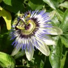 Passion Flower, Passiflora incarnata 1 oz