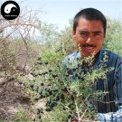 Buy Real Black Goji Berry Tree Seeds 100pcs Plant Chinese Black Wolfberry For Black Goji Berries