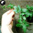 Buy Real Gynostemma Herb Seeds 100pcs Plant Herbal Gynostemma For Jiaogulan Tea