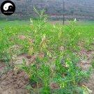 Buy Real Astragalus Seeds 200pcs Plant Medicinal Herbal Radix Astragali For Huang Qi