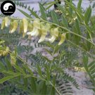 Buy Real Sophora Flavescens Seeds 100pcs Plant Medicinal Herbal Sophora Root For Ku Shen