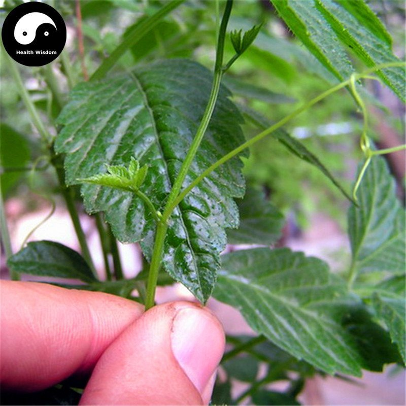 Buy Real Gynostemma Herb Seeds 400pcs Plant Herbal Gynostemma For Jiaogulan Tea