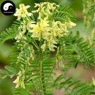 Buy Real Astragalus Seeds 400pcs Plant Medicinal Herbal Radix Astragali For Huang Qi