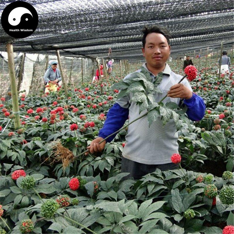 Buy Panax Notoginseng Seeds 200pcs Plant Yunnan Tian Qi Grow Herb Pseudo Ginseng