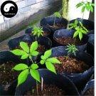 Buy Real Panax Ginseng Seeds 50pcs Plant Tonic Herb White Ginseng For Renshen