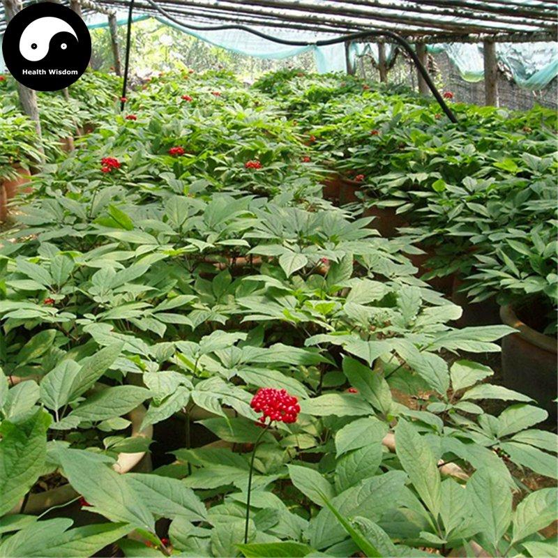 Buy Real Panax Ginseng Seeds 200pcs Plant Tonic Herb White Ginseng For Renshen