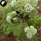 Buy Angelica Seeds 100pcs Plant Herbal Angelica Dahurica For Root Bai Zhi