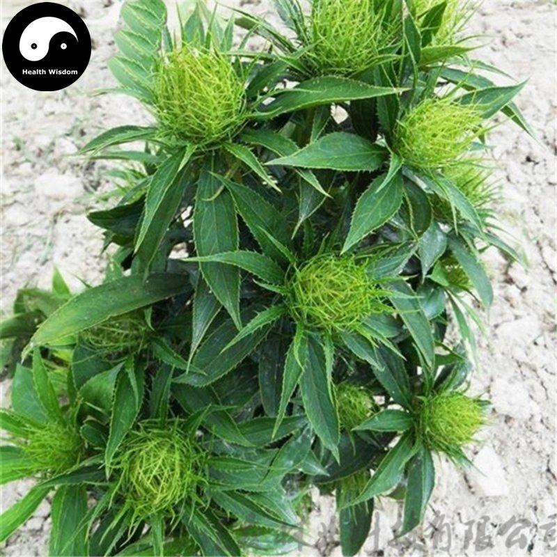 Buy White Atractylodes Seeds 100pcs Plant Baizhu For Root Atractylodes Rhizome