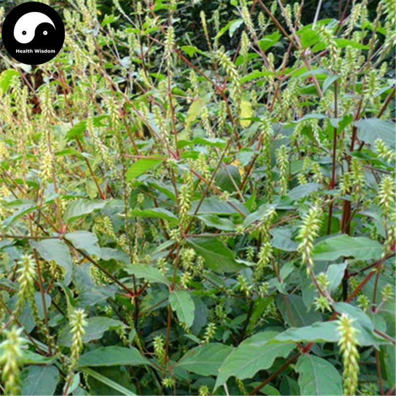 Buy Cyathula officinalis Seeds 100pcs Plant Achyranthes For Root Niu Xi