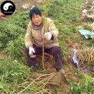 Buy Cyathula officinalis Seeds 200pcs Plant Achyranthes For Root Niu Xi