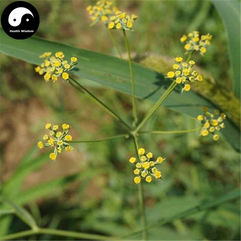 Buy Radix Bupleuri Herb Seeds 200pcs Plant Chinese Medicine Herbal Bupleurum Grow Chai Hu