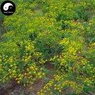 Buy Radix Bupleuri Herb Seeds 400pcs Plant Chinese Medicine Herbal Bupleurum Grow Chai Hu