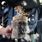 Chestnut Mushroom 100g Chinese Agrocybe Aegerita For Immune Yanagimatsutake