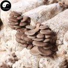 Oyster Mushroom 500g Chinese Pleurotus Ostreatus For Immune Hiratake Ping Gu