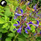 Buy Salvia Miltiorrhiza Seeds 200pcs Plant Chinese Herb Danshen For Dan Shen