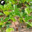 Buy Coastal Glehnia Seeds 100pcs Plant Herb Glehniae Radix For Bei Sha Shen