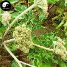 Buy Coastal Glehnia Seeds 400pcs Plant Herb Glehniae Radix For Bei Sha Shen