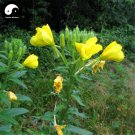 Buy Herb Oenothera Biennis Seeds 100pcs Plant Evening Primrose For Yue Jian Cao